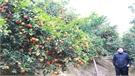 Lục Ngạn: Cam ngọt có giá cao nhất 50 nghìn đồng/kg