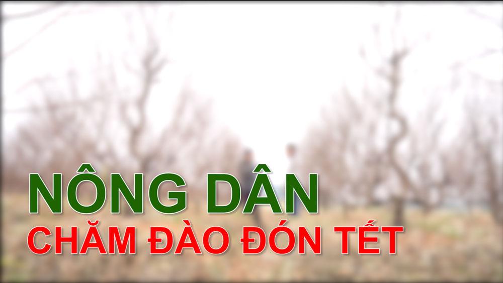 Nông dân chăm đào đón Tết