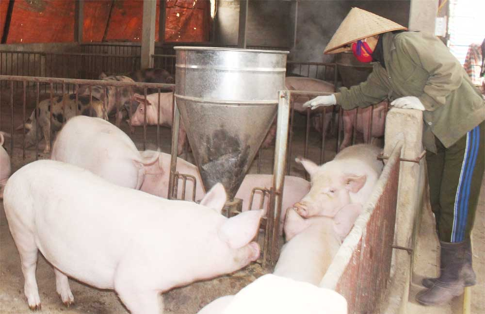 Pig raising for Tet, Ensuring safety, product diversity