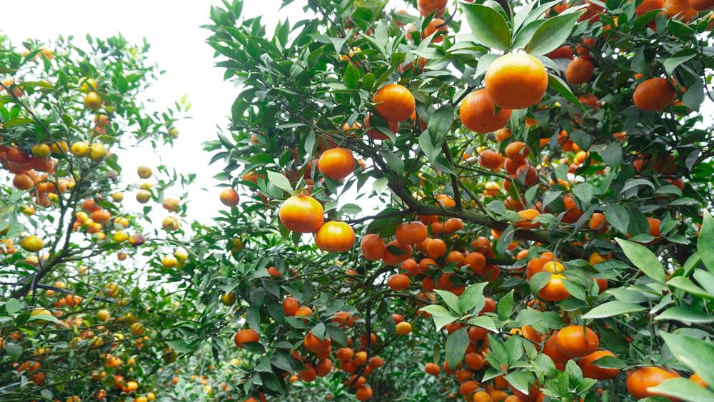Vườn cam đẹp, cam ngọt bạc tỷ ở Quý Sơn, lục ngạn