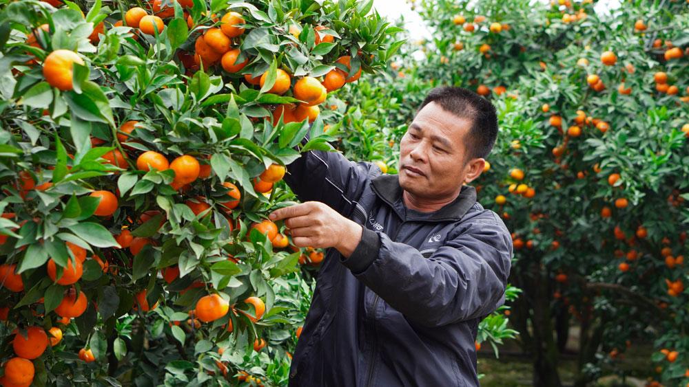 Vườn cam bạc tỷ ở Quý Sơn