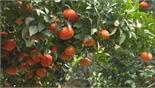 Hiệu quả từ thay đổi tư duy sản xuất cây ăn quả