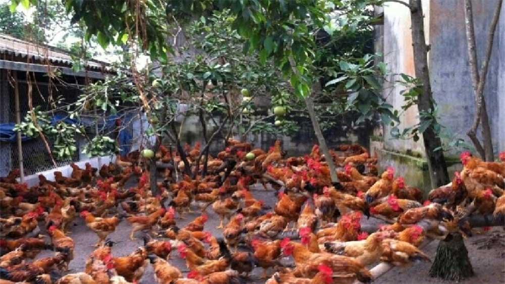 Bac Giang, bio-safety chicken farming, economic efficiency