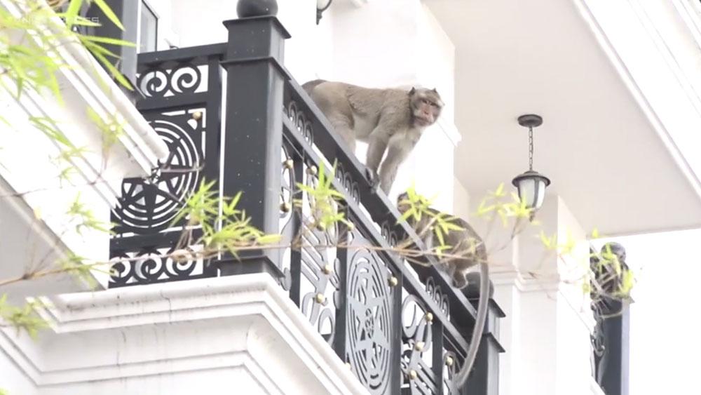 Đàn khỉ trèo vào nhà dân trộm thức ăn