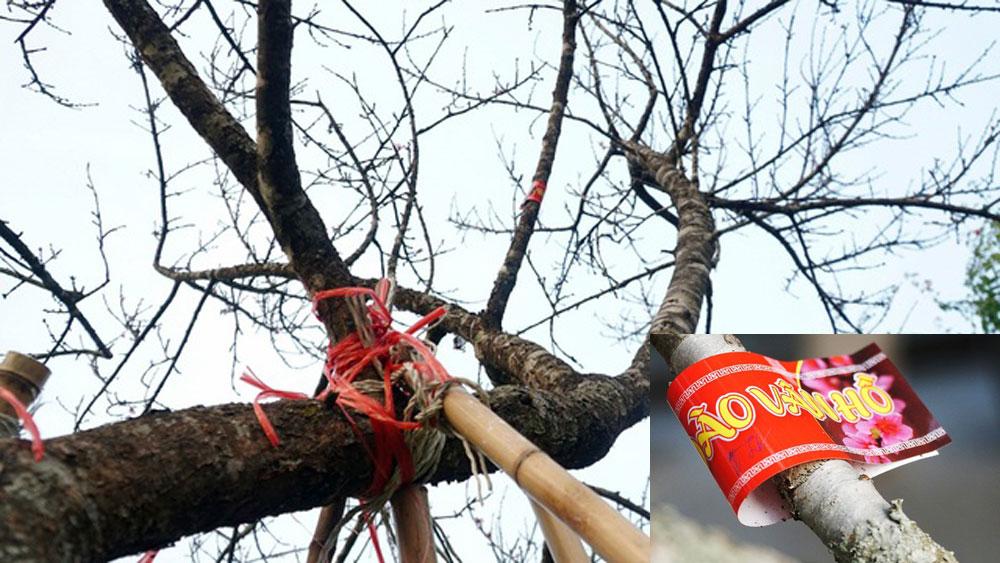 đào rừng, dán tem cho đào rừng, Sơn La, Tết