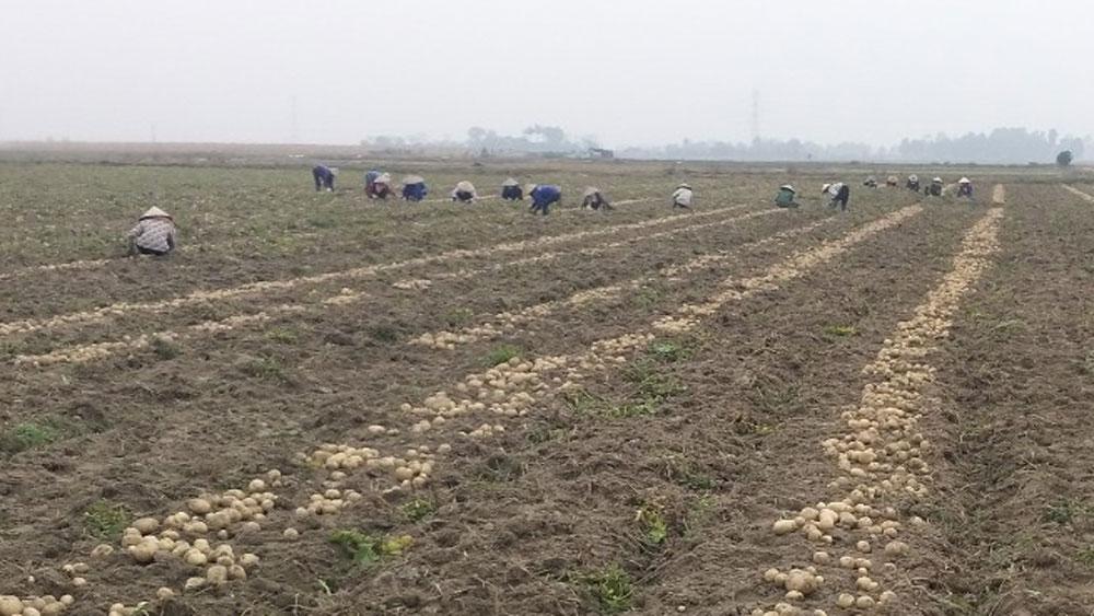 Bắc Giang: Trồng khoai tây chế biến, nông dân thu lãi 3,5 triệu đồng/sào