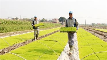 Làm dịch vụ gieo cấy trọn gói- mô hình độc đáo, hiệu quả ở Bắc Giang