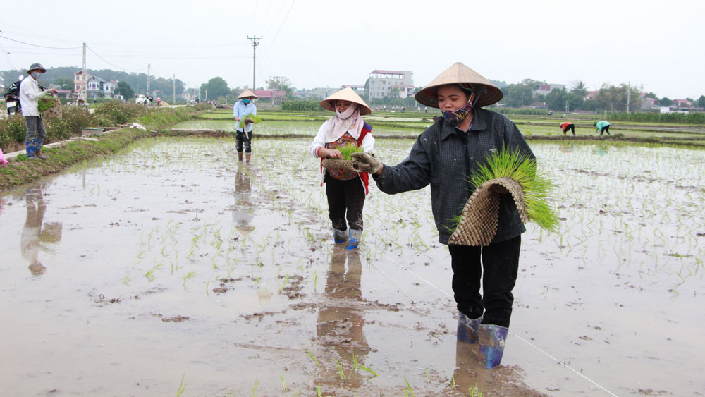 Nông dân xã Ngọc Thiện (Tân Yên) cấy lúa xuân.