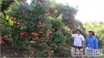Bac Giang produces nearly 140 hectares of lychee for export to Japan