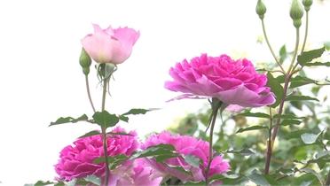 Vườn hồng An Hưng - điểm đến của người chơi hồng cổ