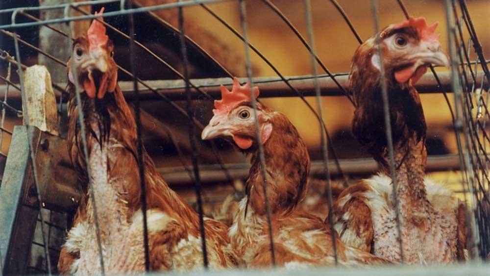 Phát hiện, ca nhiễm cúm gia cầm H5N8, đầu tiên, ở người