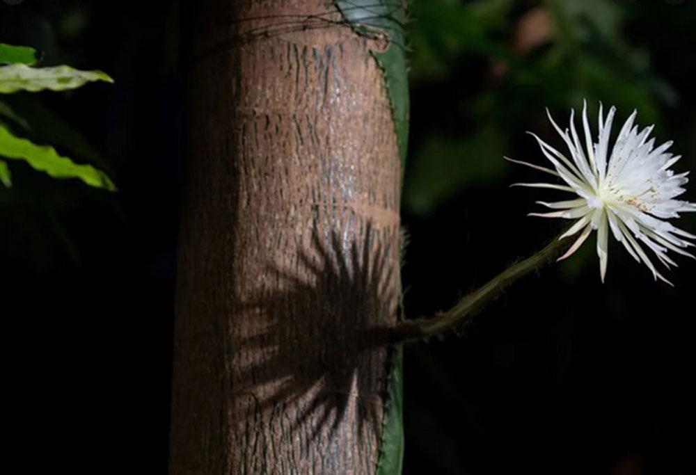 Hoa xương rồng,Anh,selenicereus wittii,Đại học Cambridge,Amazon,Indonesia