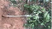 Lục Nam: Hàng trăm cây trà hoa vàng bị chặt phá