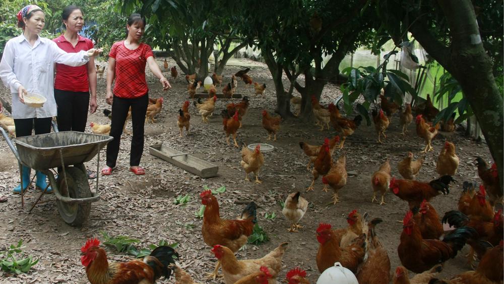 Yên Thế, gà cúng rằm tháng Giêng, gà đồi, tiêu thụ gà, bắc giang