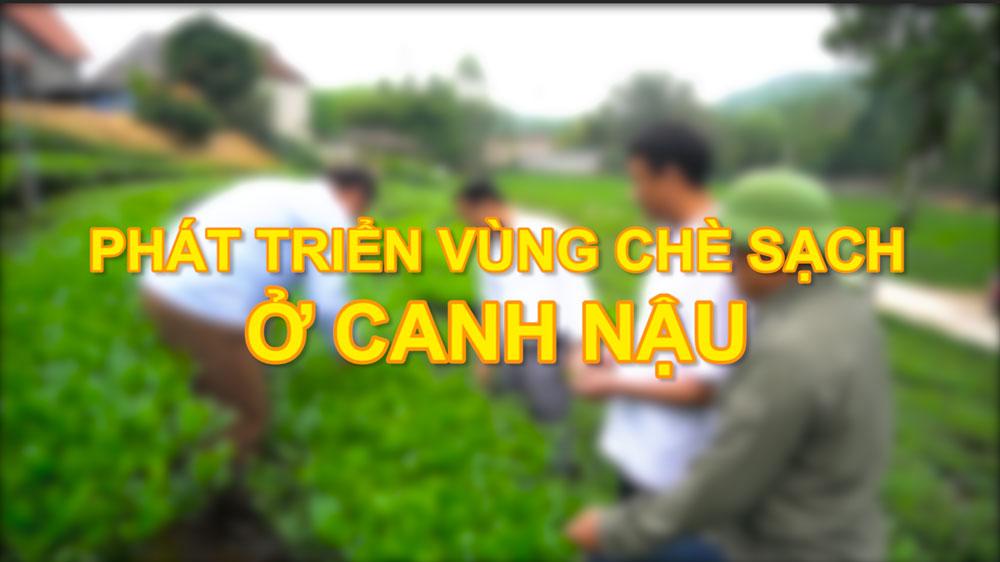 Phát triển vùng chè sạch ở Canh Nậu