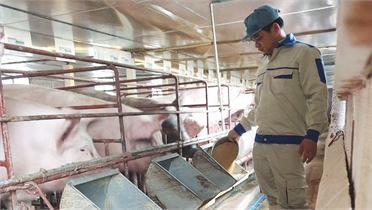 Ứng dụng khoa học và công nghệ trong chăn nuôi lợn: Tăng hiệu quả, hạn chế rủi ro
