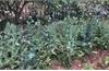 Bắc Giang: Phát hiện nhiều trường hợp trồng cây thuốc phiện trong vườn nhà