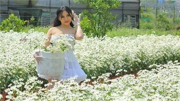 Ươm trồng thành công cúc họa mi ra hoa trái mùa