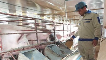 Bac Giang applies science and technology in pig breeding