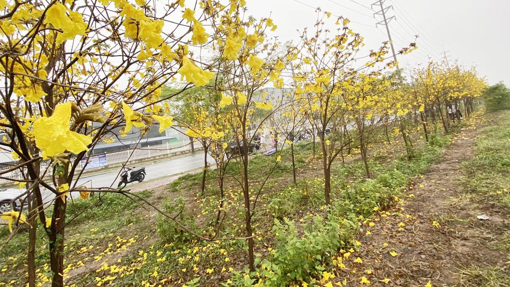 Chụp ảnh với hoa phong linh, nhiều người vin hoa, bẻ cành, xả rác