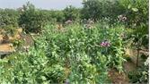 Lục Nam: Phát hiện, thu giữ hơn 1.000 cây thuốc phiện