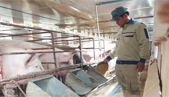 Bac Giang: Total number of pigs and fowls sharply increases