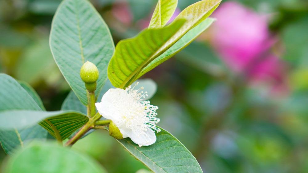 Bắc Giang:  Cây ăn quả đua nhau khoe hương sắc