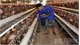Bac Giang sees favorable sale of pigs and poultry, with stable prices
