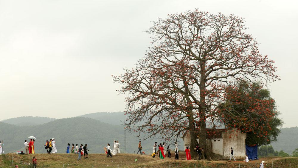 Bắc Giang, cây gạo Lãng Sơn, cây cổ cụ, lịch sử-nghệ thuật