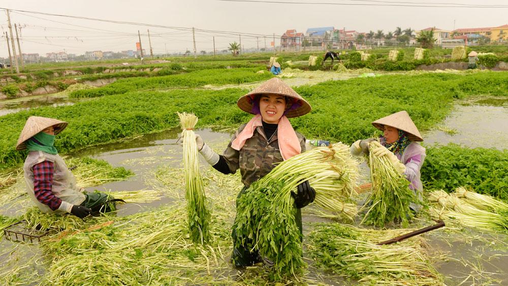 Chị Huê (đứng giữa) rất vui vì rau cần tăng giá trở lại.