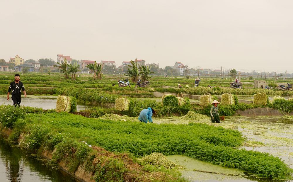 Người dân thôn Thanh Lâm, xã Hoàng Lương thu hoạch rau cần.