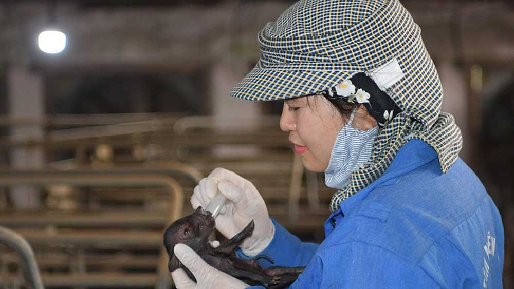 Vietnam successfully clones endangered pig breed