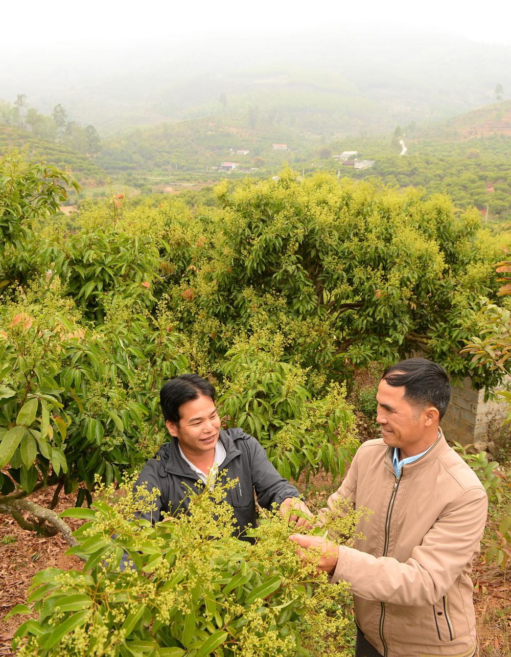 Người dân thôn Họa, xã Cấm Sơn (Lục Ngạn) kiểm tra tỷ lệ đậu quả ở vải thiều chính vụ.