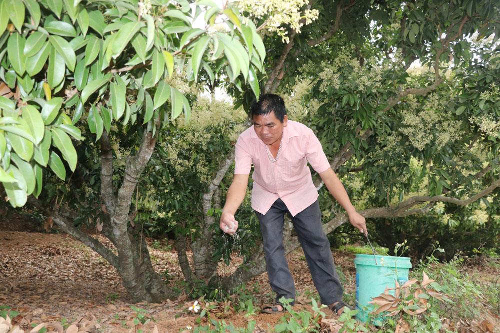 Ông Tẩy Văn Bốn, thôn Thượng Phương Sơn, xã Hồng Giang (Lục Ngạn) bón phân cho vườn vải thiều.