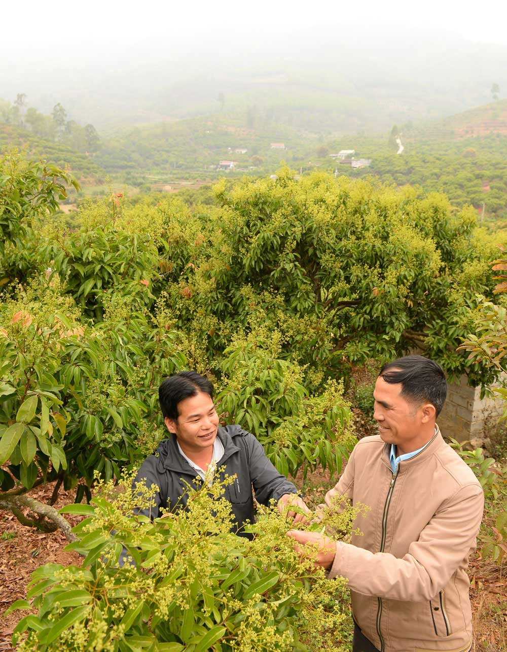 Bac Giang, VietGap lychee cultivation area,