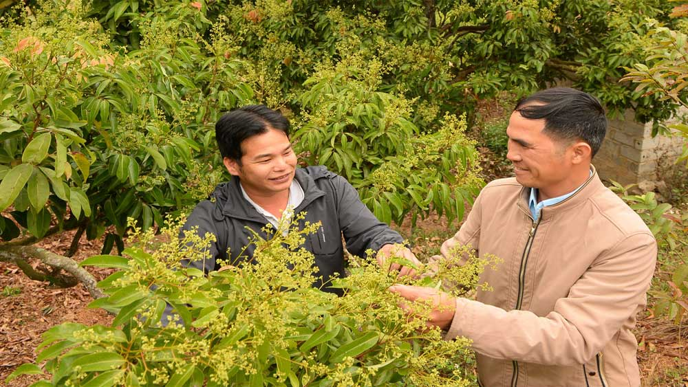 Bac Giang: VietGap lychee cultivation area increases