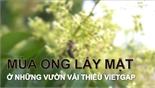 Mùa ong lấy mật ở những vườn vải thiều VietGAP