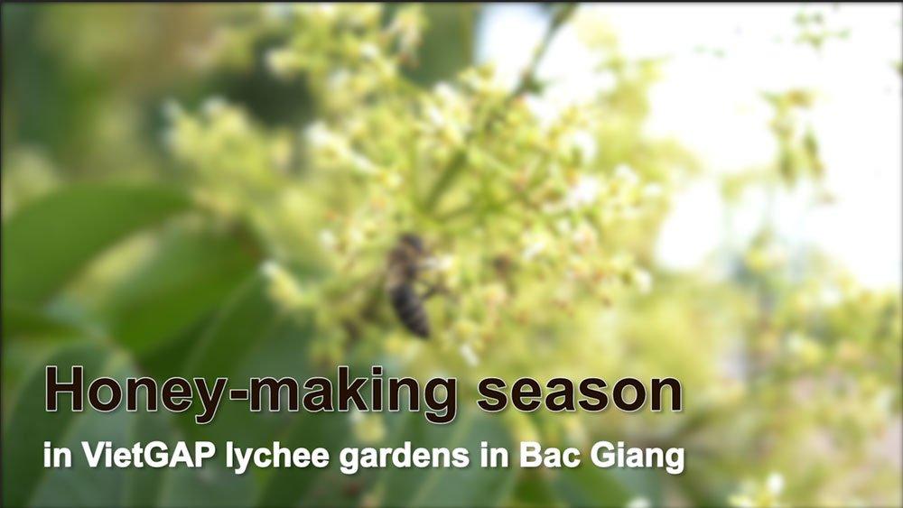 Honey-making season in VietGAP lychee gardens in Bac Giang