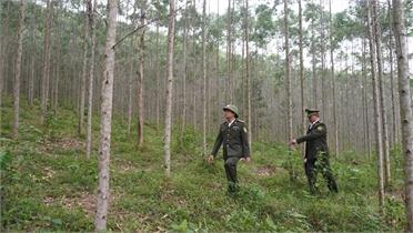 Đông Hưng: Kinh tế khởi sắc nhờ trồng rừng