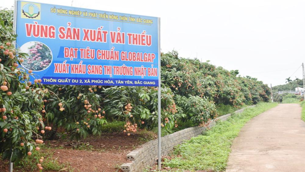 Tân Yên mở rộng diện tích vải Global GAP lên 15 ha