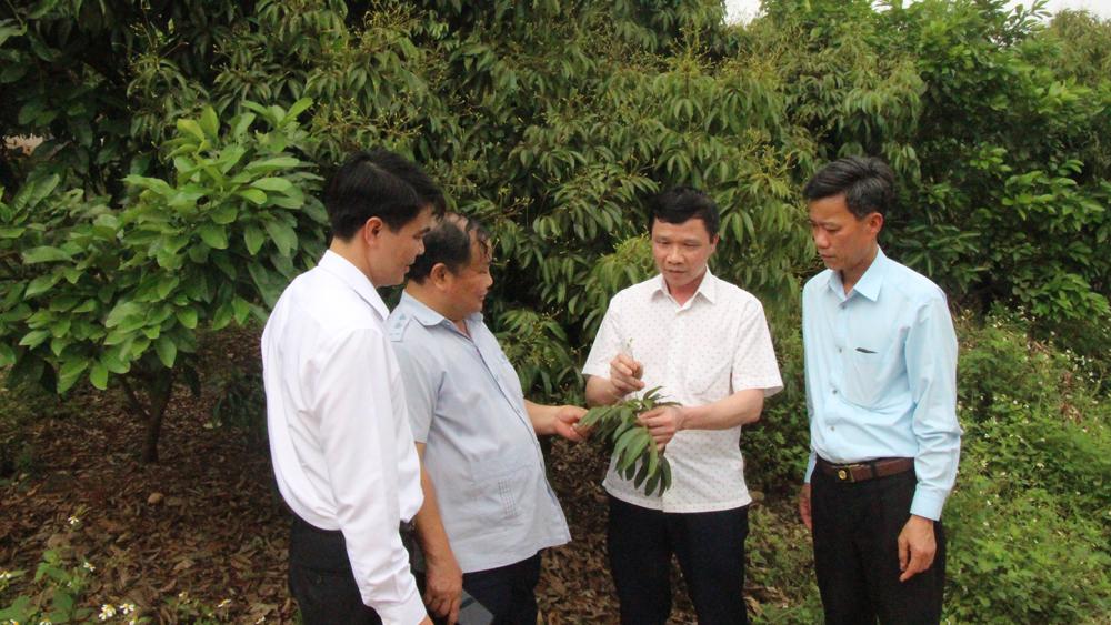 Khu vườn sản xuất vải thiều xuất khẩu đi Nhật Bản của hội viên nông dân xã Qúy Sơn (Lục Ngạn).