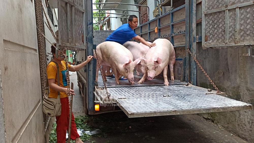Thành phố Bắc Giang, lò mổ, giết mổ lợn, giết mổ