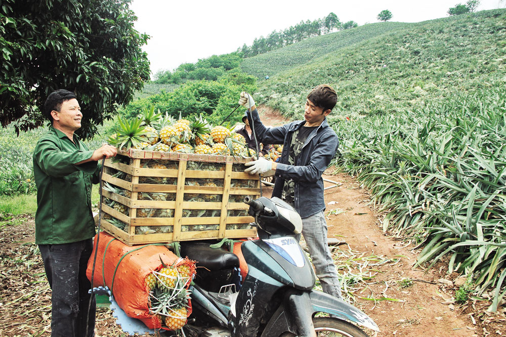 Happiness, ripe pineapple season, Bac Giang province, Bao Son commune, bumper crop, good selling price