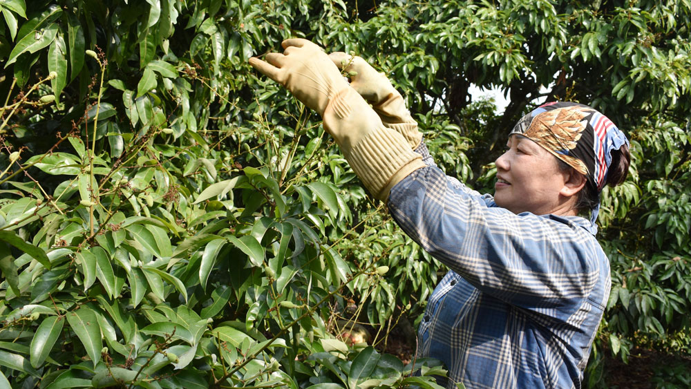 Lychee origin traceability requires good implementation from production stage