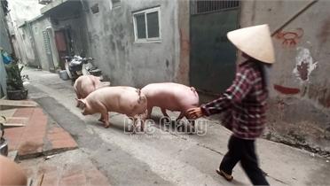 Lò mổ gia súc trái phép ở TP Bắc Giang: Sau kiểm tra vẫn tái phạm
