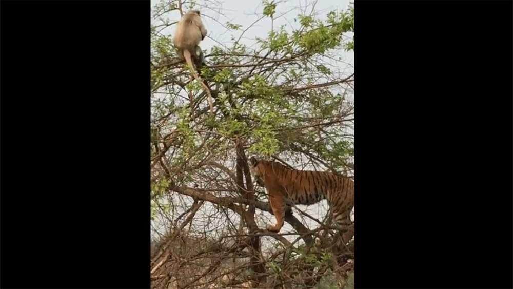 """Clip """"hổ trèo cây bắt khỉ, bị dạy cho một bài học"""" lan truyền mạng xã hội"""