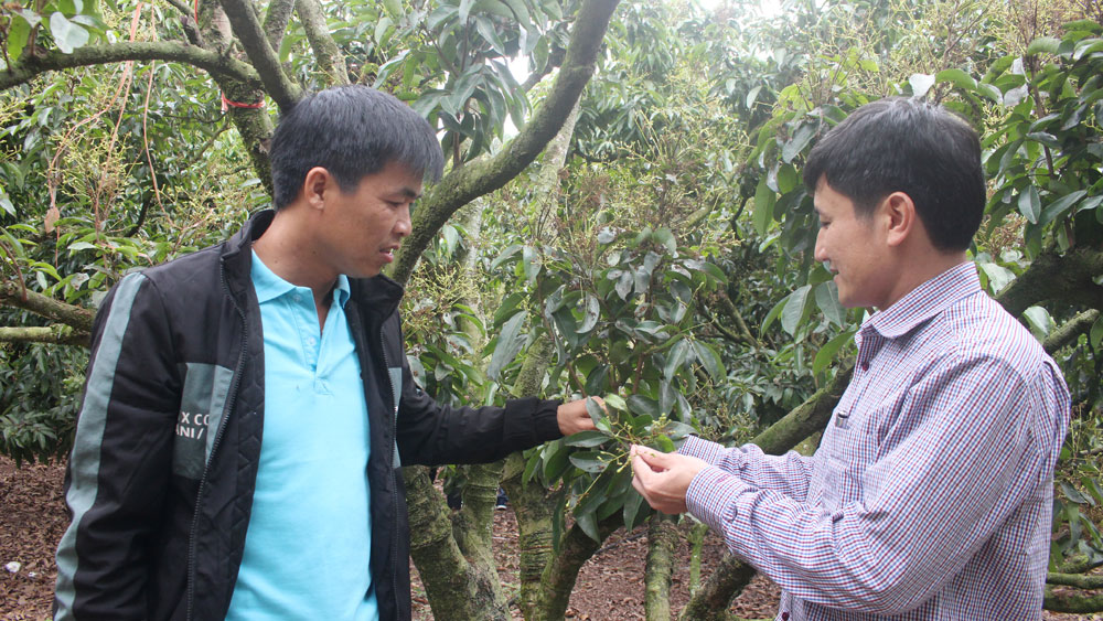 Producing lychee for export: following production process, improving product quality