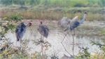 Red - crowned cranes reappear in Mekong Delta
