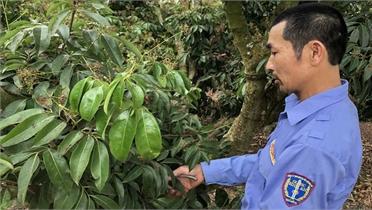 Nông dân Bắc Giang trồng vải thiều sạch theo chỉ dẫn địa lý Nhật Bản