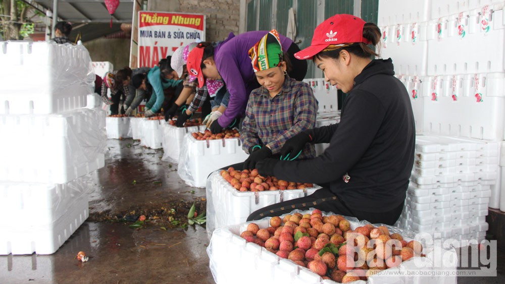 Bac Giang province, live broadcasting, lychee promotion, domestic and foreign bridge points, key and signature farm produce